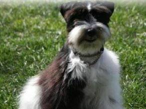 For female schnauzer to breed
