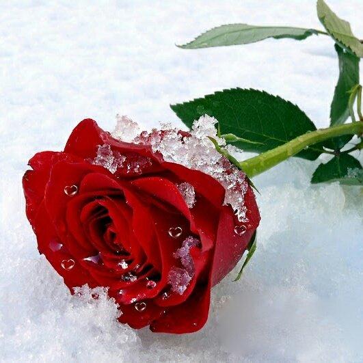 Утро картинки, анимация картинки роза на снегу