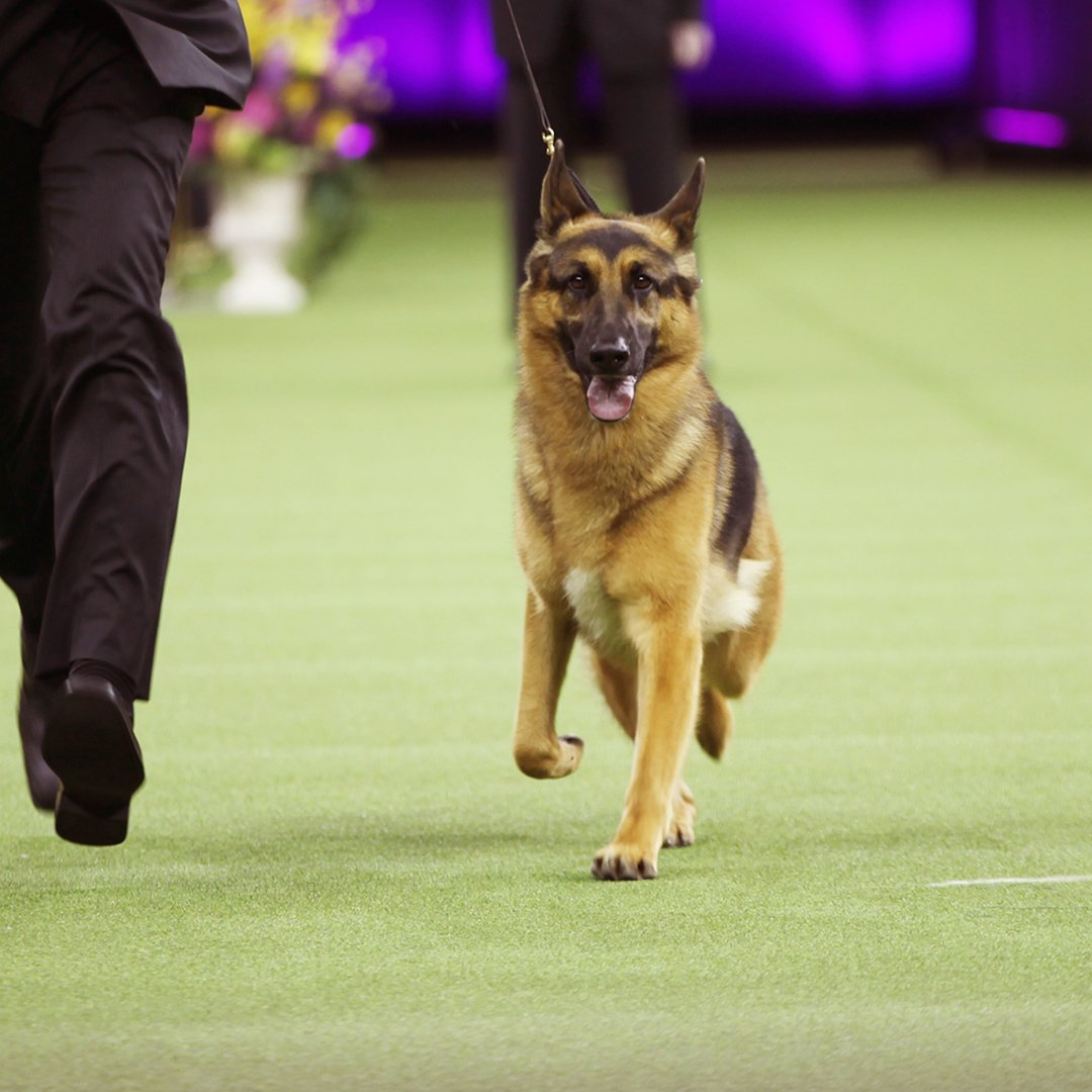 "The 141st #WKCDogShow Best in Show is ""Rumor"" the German Shepherd!!! https://t.co/9yDkm5z7tN"