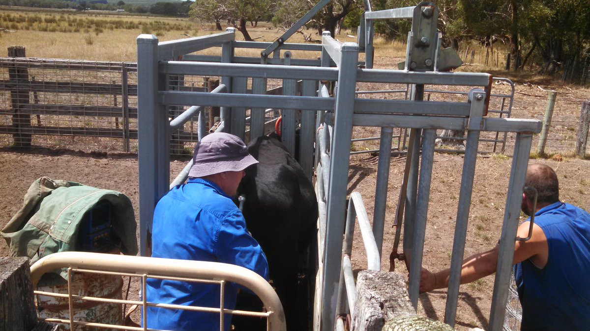 Preg testing Twinner cows. 75 cows due with 95 calves 126%. Leo Cummins has 73 cows due with 119 calves 163%. 20% increase in beef output JK