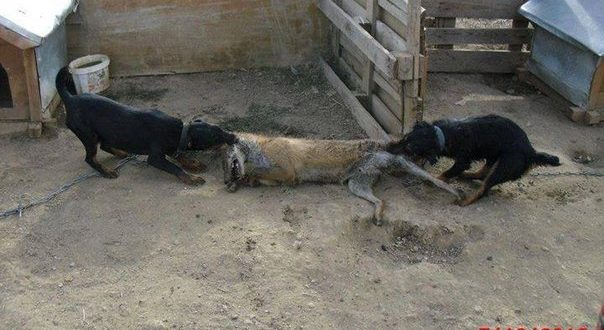 STOP cruel animal baiting!  https://www. change.org/p/state-duma-s top-cruel-animal-baiting &nbsp; …  #animals #russia #news #RussiaToday #Russiansdidit <br>http://pic.twitter.com/4abP5XpATl