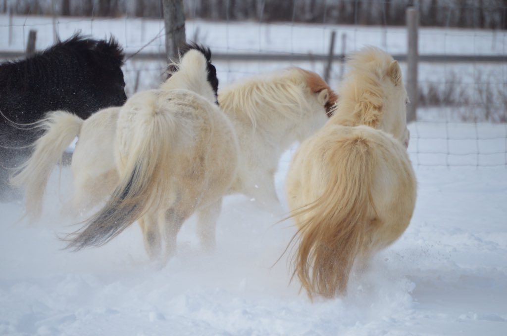 Even when someone brings you down, just seeing a horses beauty lifts you up:) #ponyhour #horsehour #miniature #horse #snow #snowday #pony<br>http://pic.twitter.com/s65uJUxAOo