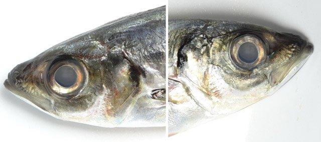 【試作】「死んだ魚の目」メガネ スーパーで買って来たアジの目の写真を貼り付けただけ。キモい。