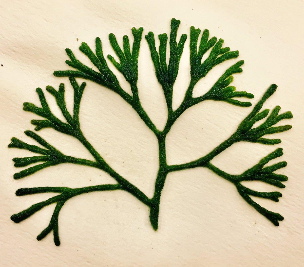 海藻のミル!この形は昔から着物などの文様にも使われてます。#海藻