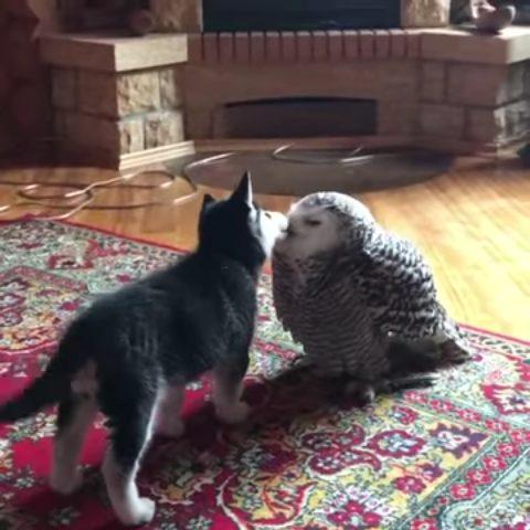 なかよし  「変わったお口だね!」 幼いハスキー、フクロウへのちゅっちゅが止まらない - ねとらぼ …