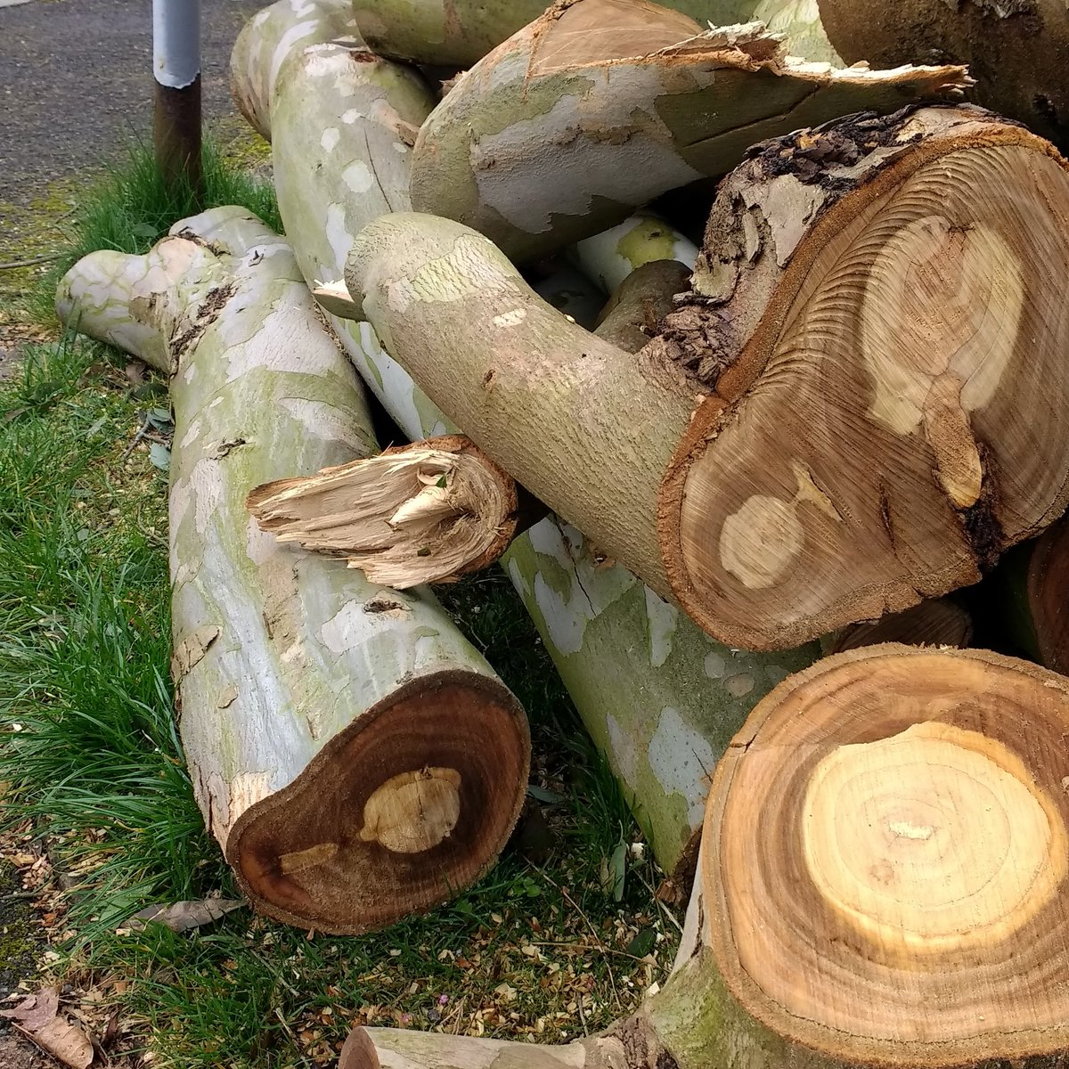 #Eucalyptus tree felled near me any good for #lutherie making #ukulele #luthiers?? <br>http://pic.twitter.com/AAeAKLqLfa