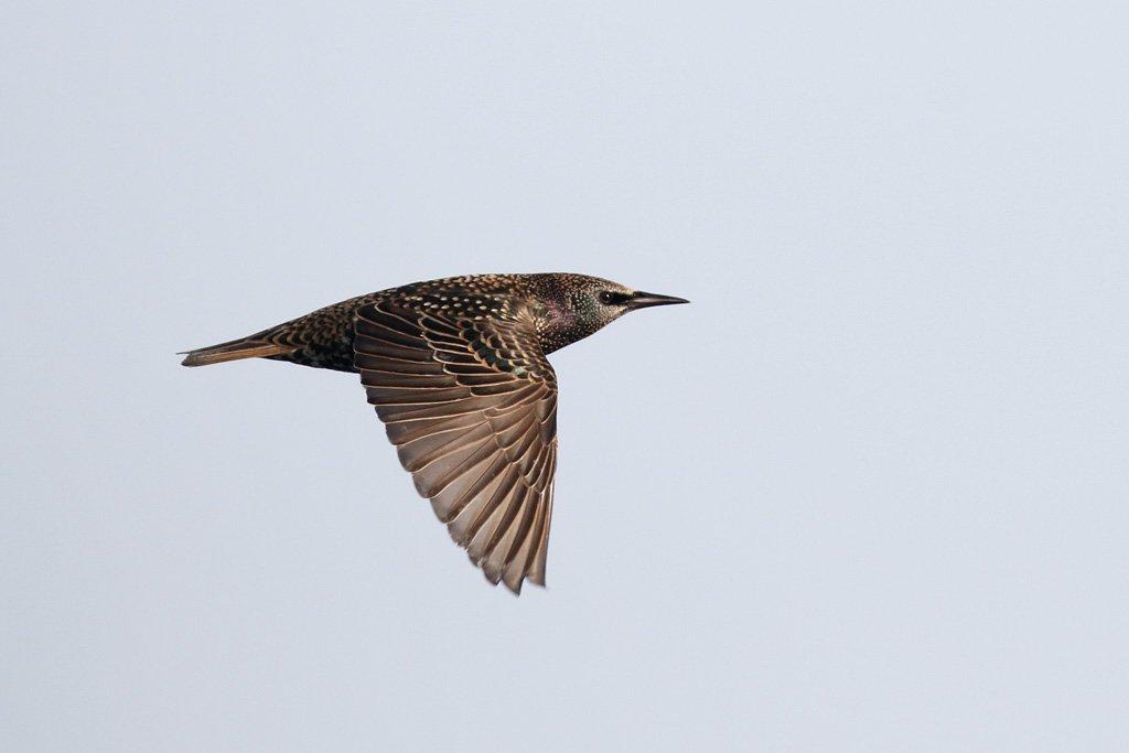 вас скворец в полете фото птицы певицы