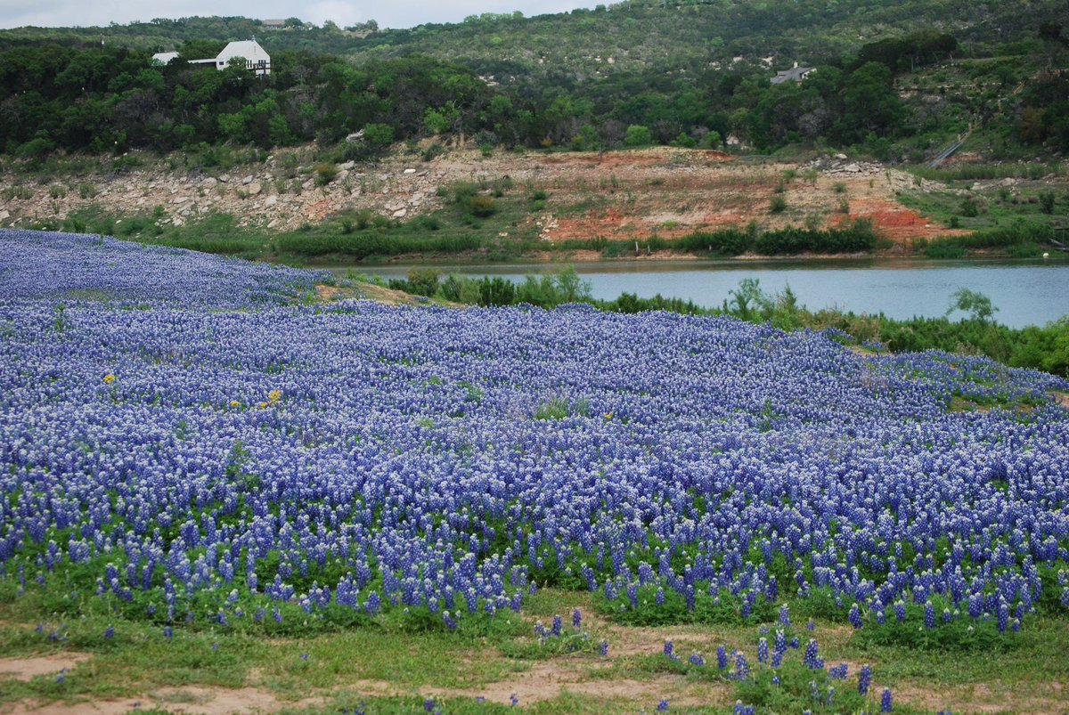 Texas Sboe On Twitter Bluebonnets Are The State Flower Of Texas