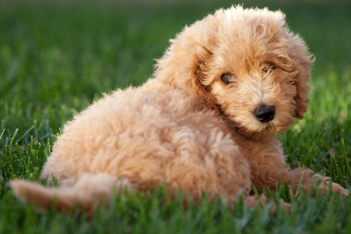 This Labradoodle is ruining my credit score https://t.co/aTnzRue0YU
