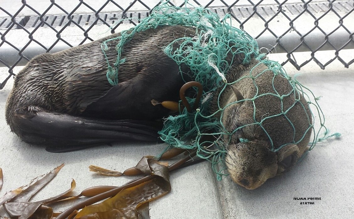 Guadalupe fur seals have some of the highest rates of entanglements in ocean trash. They need #moreoceanlessplastic https://t.co/EvlNyp48IJ