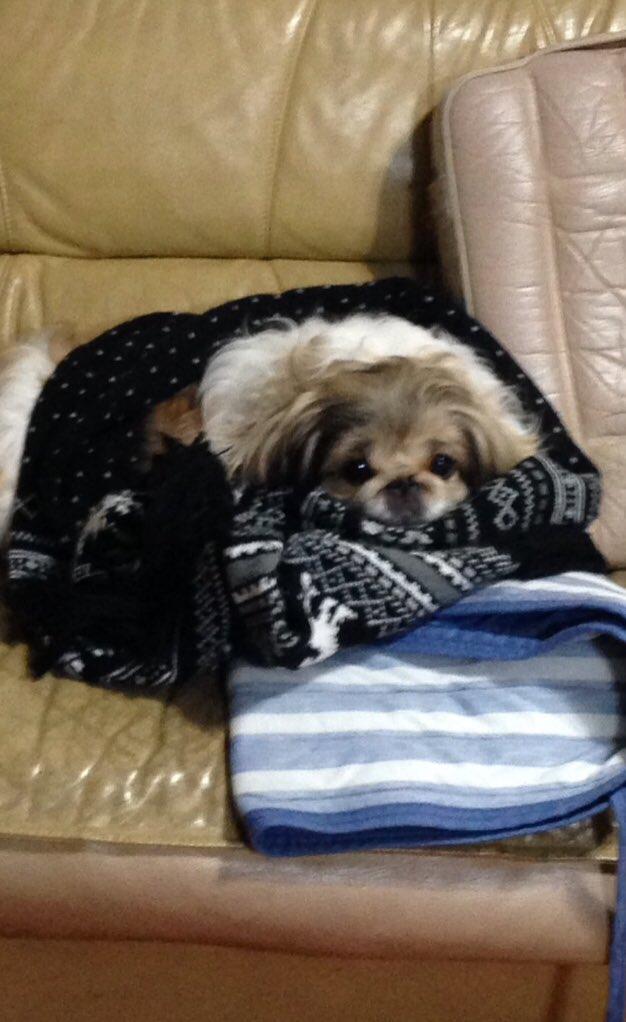 ドッグセラピーという言葉を聞いたことは有りますか? 人の心や体の病気の治療などを目的に、適切に、イヌを介在させる補助療法。  私も毎日 癒されてますよ、うちのワンコに~ 愛くるしい顔 マフラーをかけたら気持ち良さそうに、すり すり すり  #ドッグセラピー #ペキニーズpic.twitter.com/bwQNFrjb0k