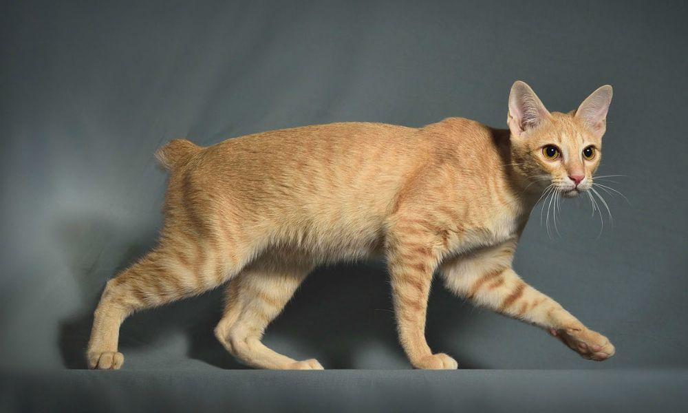 Khmer cambogiano: il gatto anallergico | Velvet Pets Italia   via @VelvetPetsIta