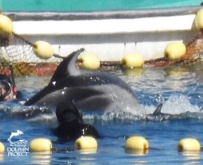 20 #Pacific White Sided #Dolphins are been stolen from the ocean Shame on #Taiji Tiny baby tortured  #DolphinProject   #OpKillingBay<br>http://pic.twitter.com/GN9m5Bxy6i
