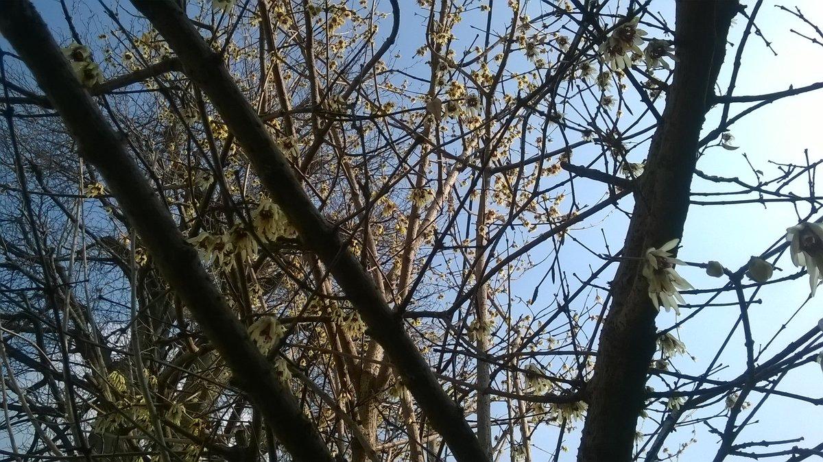 Brezza che ride straziando il profumo di calicanto @haikuinitaliano @haikuitaly #poesia #inverno <br>http://pic.twitter.com/FONWcgXbit