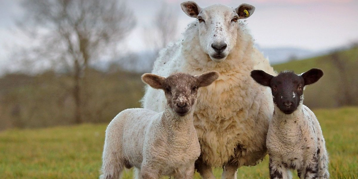Why pregnant women need to avoid livestock during lambing season https...