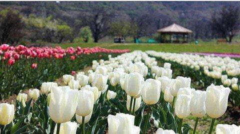 #kashmiri gardens #tulip gardens #srinagar #kashmir #kashmirhopepeace...