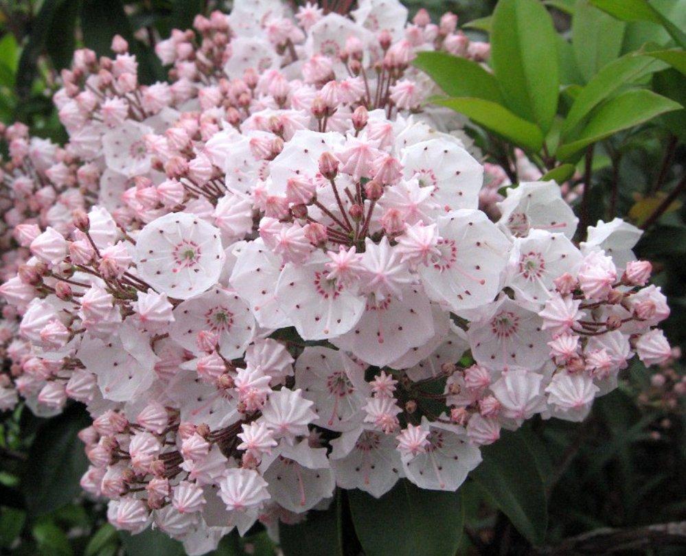 [오늘 탄생화:2월 20일] Kalmia(칼미아) 진달래과 상록관목, 흰색 분홍색 연보라색 등 꽃색이 다양. 꽃말'커다란 희망' 오늘 생일이신분들 축하드려요~ https://t.co/4CAf4f1yha