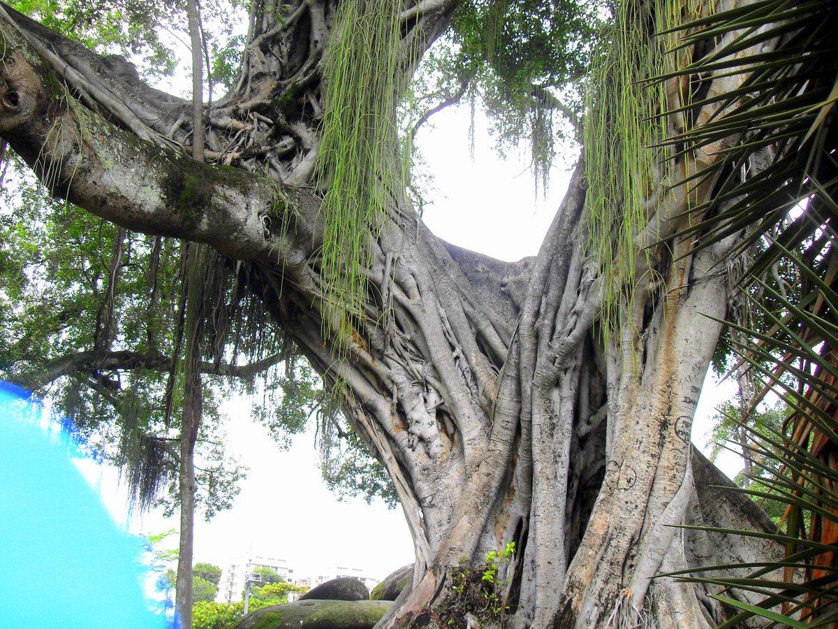 Pour conclure ce magnifique voyage à Rio, on savoure la prestance d&#39;un arbre antédiluvien ! #Brésil #Rio #RioDeJaneiro #Voyage #LundiFleuri<br>http://pic.twitter.com/xmPLfKFqP9