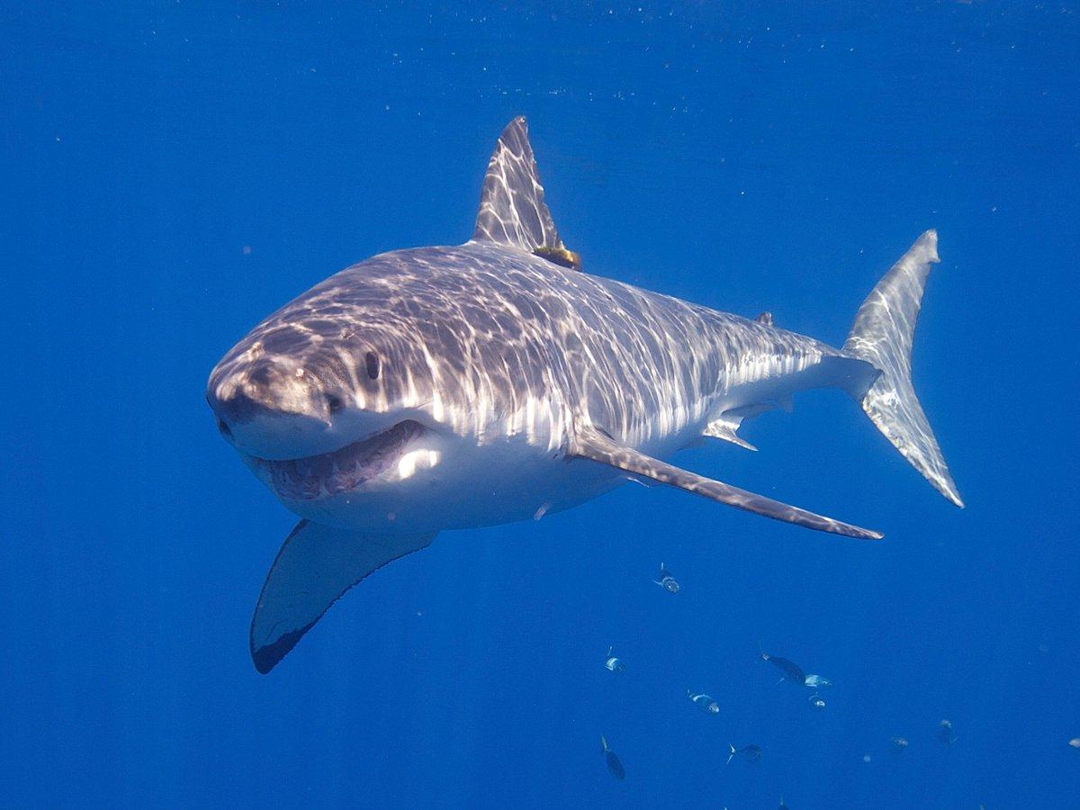 Suivez les déplacements des #requins blancs en temps réel grâce à l' #appli Ocearch !  @Numerama  http:// buff.ly/2laAvxL  &nbsp;   #tech #Application<br>http://pic.twitter.com/yExbyHPQrl