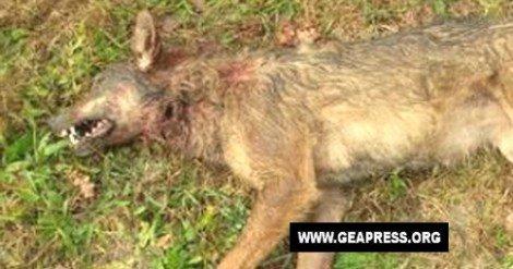 Lupo ucciso, il WWF: atto inaccettabile - https://t.co/hwgZQRzJsm #blogsicilianotizie