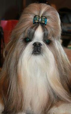 Shihtzu On Twitter Read About 10 Amazing And Impressive Tricks