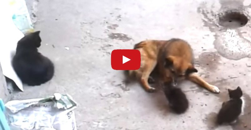 Mother #Cat Brings Her Kittens to Meet an Old Friend CLICK to watch >