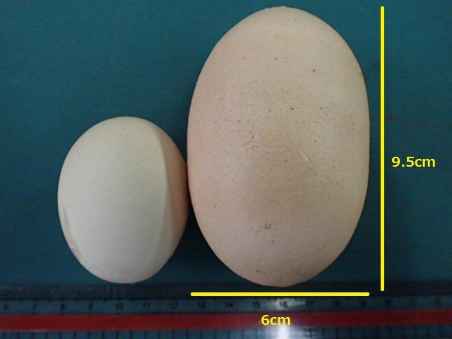 今までで一番大きな卵が産まれたので、黄身4つ入りを期待して茹でてみました。 剥いてみると、中からもう一つ卵が!! 中の卵は普通の卵で、外側にもきちんと黄身がありました。 これは二重卵といい、卵が産まれる直前に卵管を逆流し、再び白身や殻に包まれてできるそうです。あーびっくりした!