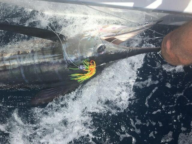 Mercury Bay, NZ - Solemar released a Striped Marlin