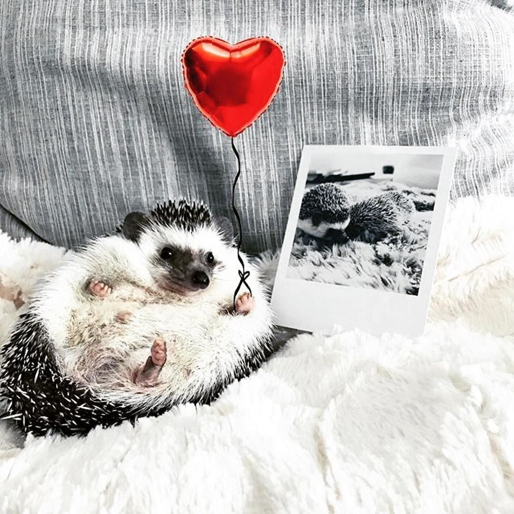 Un peu d&#39;#amour pour finir la journée ! #hedgehog #pets #animal #love #heart #friends #ins…  http:// ift.tt/2lr4Ruv  &nbsp;  <br>http://pic.twitter.com/oUWLddZYAP