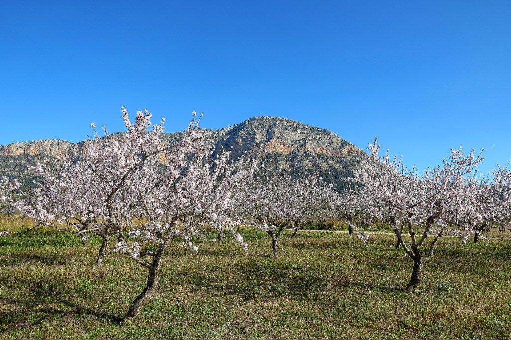 Ametlers en flor i abelles al #Montgó a #Xàbia hui amb el matí ras i assolellat @avametpred @JoannaIvars @OratgeCV @jcfortea @oratge_LTV<br>http://pic.twitter.com/TbEchdVJ1W