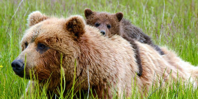 Be a voice for the voiceless! Help protect #bears and #wolves living in our National #Wildlife Refuges in #Alaska:  http:// bit.ly/2leLNzs  &nbsp;  <br>http://pic.twitter.com/0mkL13vtk3