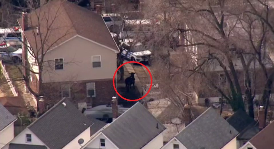 I'm watching a police standoff with a cow on the loose in Queens https...