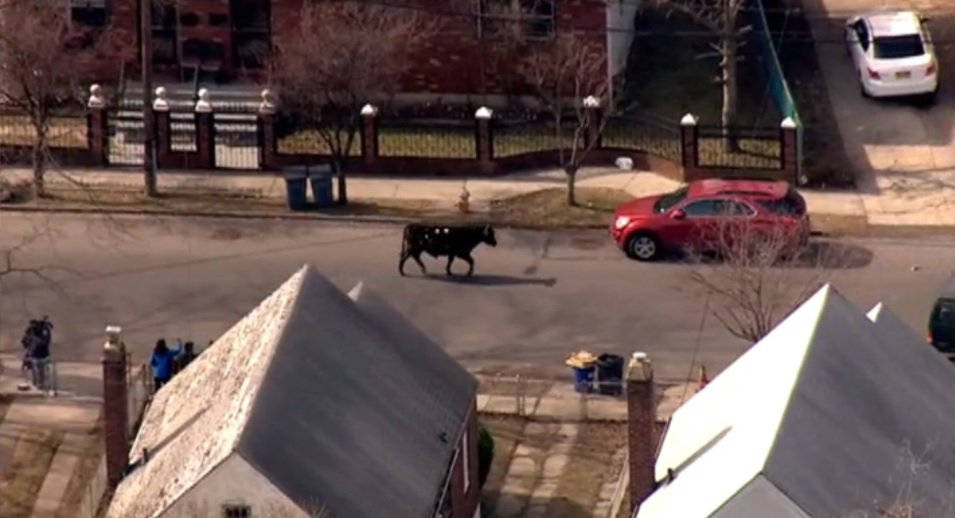 !!!!!!!!!!!! The cow made a run for it!  It's now a police chase in Qu...