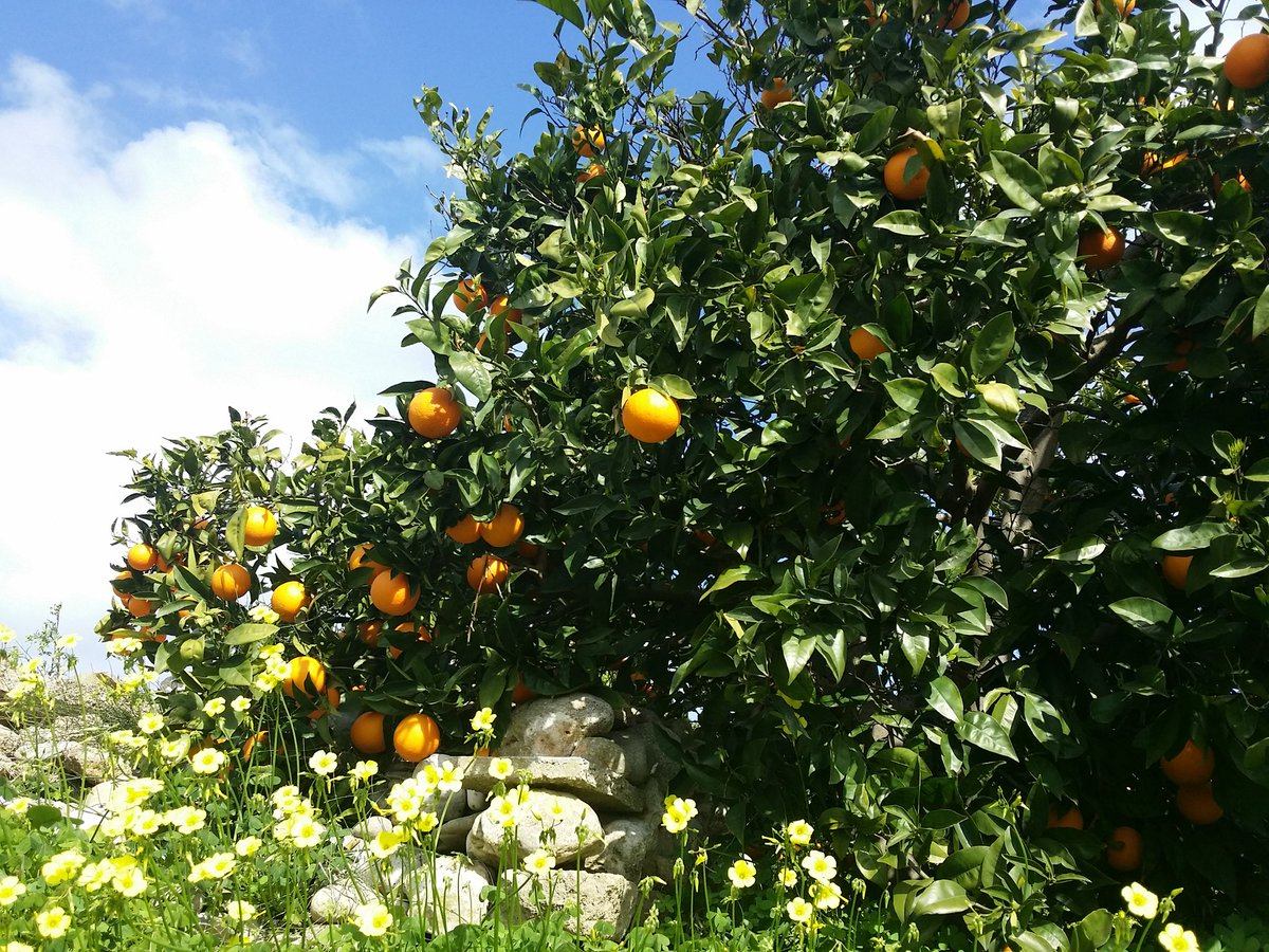 #LasDunasJavea #Javea #Xabia is #loving #Spain in the #spring out in the #orange groves<br>http://pic.twitter.com/RK6EBpnz3J
