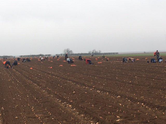 Les plantations à la main d&#39;échalotes traditionnelles ont commencé ! #FDA #plantation #échalote<br>http://pic.twitter.com/3ZjxXaSRSP