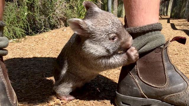 See eye to eye... Never Smell you a mile off... Always It&#39;s Wombat Wednesday make an effort.  #Wombat #WombatWednesday #Stinky #Socks <br>http://pic.twitter.com/3x0nlC1C3c