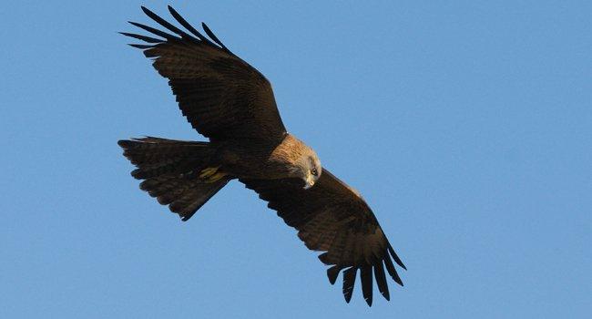 #Migration des milans noires débutant vers les #Pyrénées après un #hiver en Afrique du Sud :  https:// goo.gl/Hx7XDg  &nbsp;   (@LPOFrance, #oiseaux)<br>http://pic.twitter.com/ZVpTDNfEZG