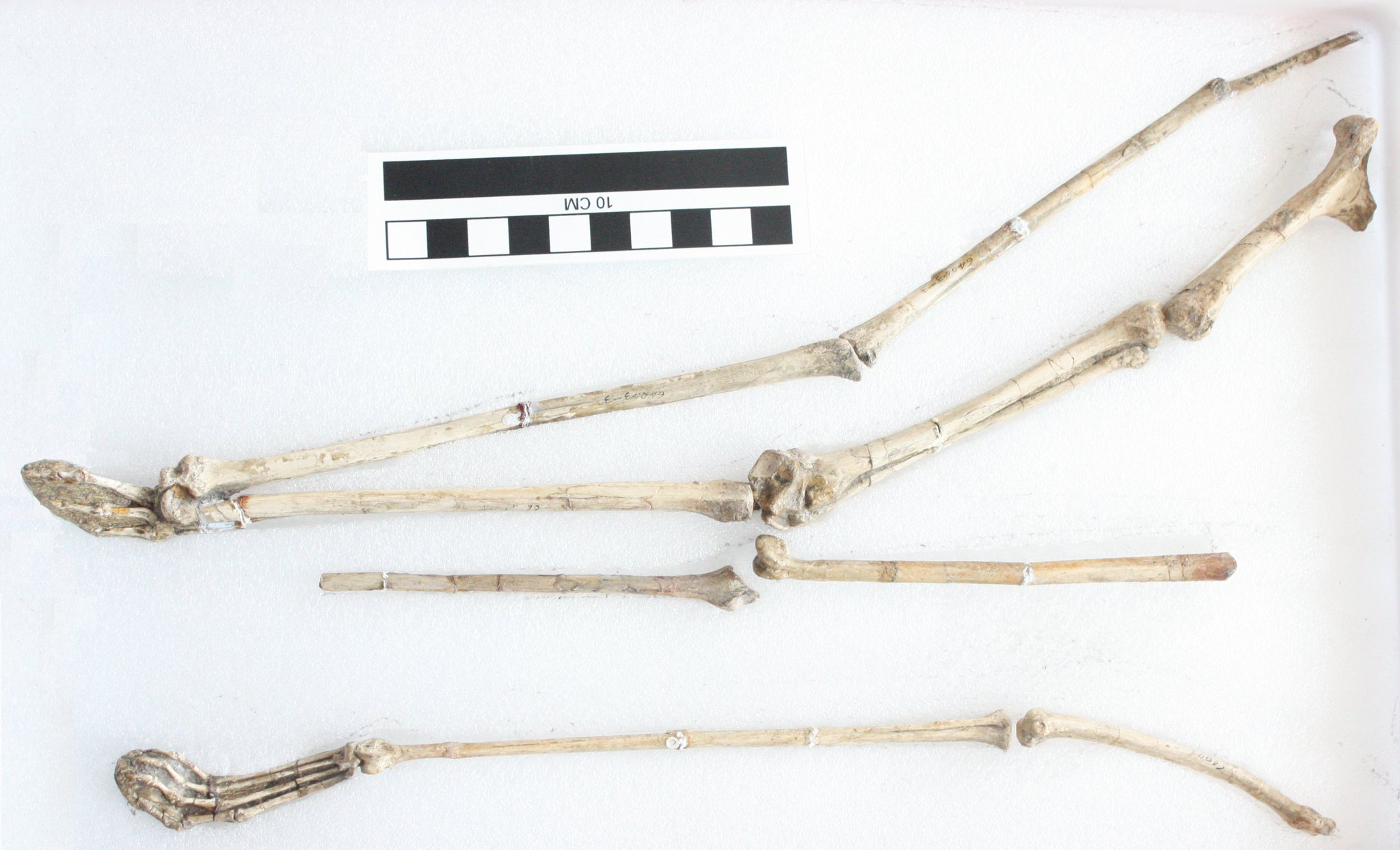 A superb set of limbs from one specimen of Noripterus