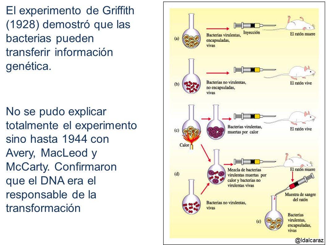 Griffith (1928) demuestra que las bacterias pueden transmitir la información genética en un proceso llamado transformación #microMOOCSEM2 https://t.co/45gMJmDB2Y