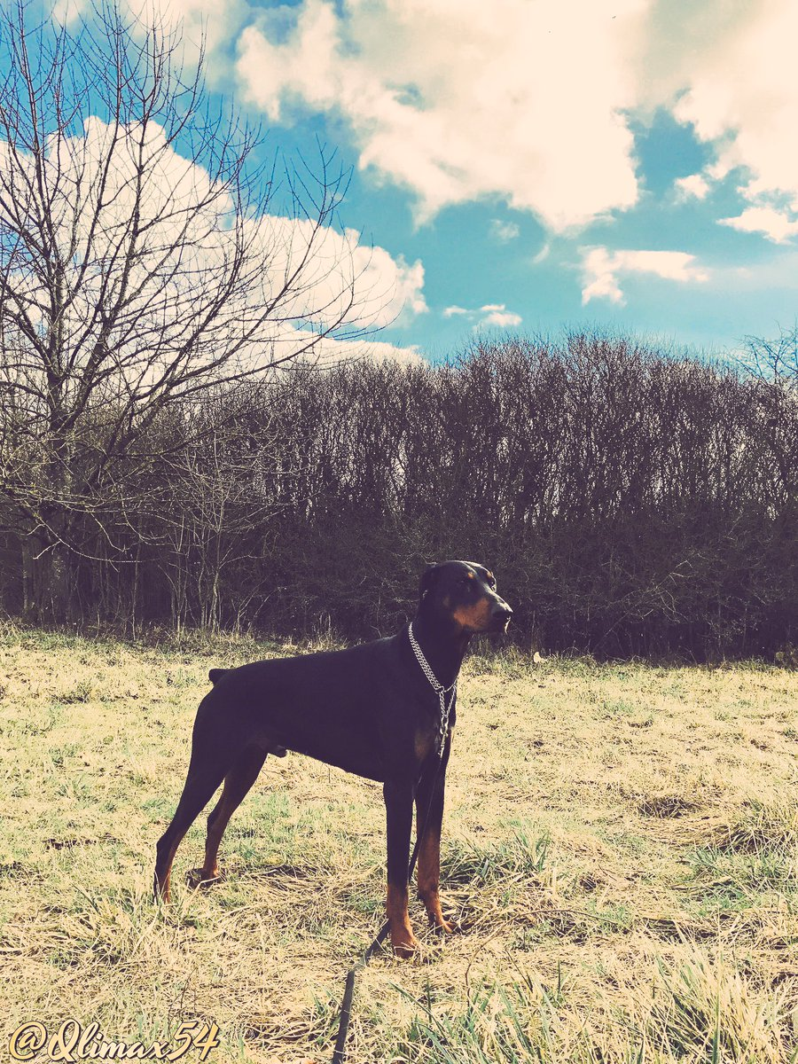 C&#39;est le week-end!! Et vous? It&#39;s weekend and you? #doberman #dogsoftwitter #dogcelebration #France <br>http://pic.twitter.com/ohAn5C5xLI