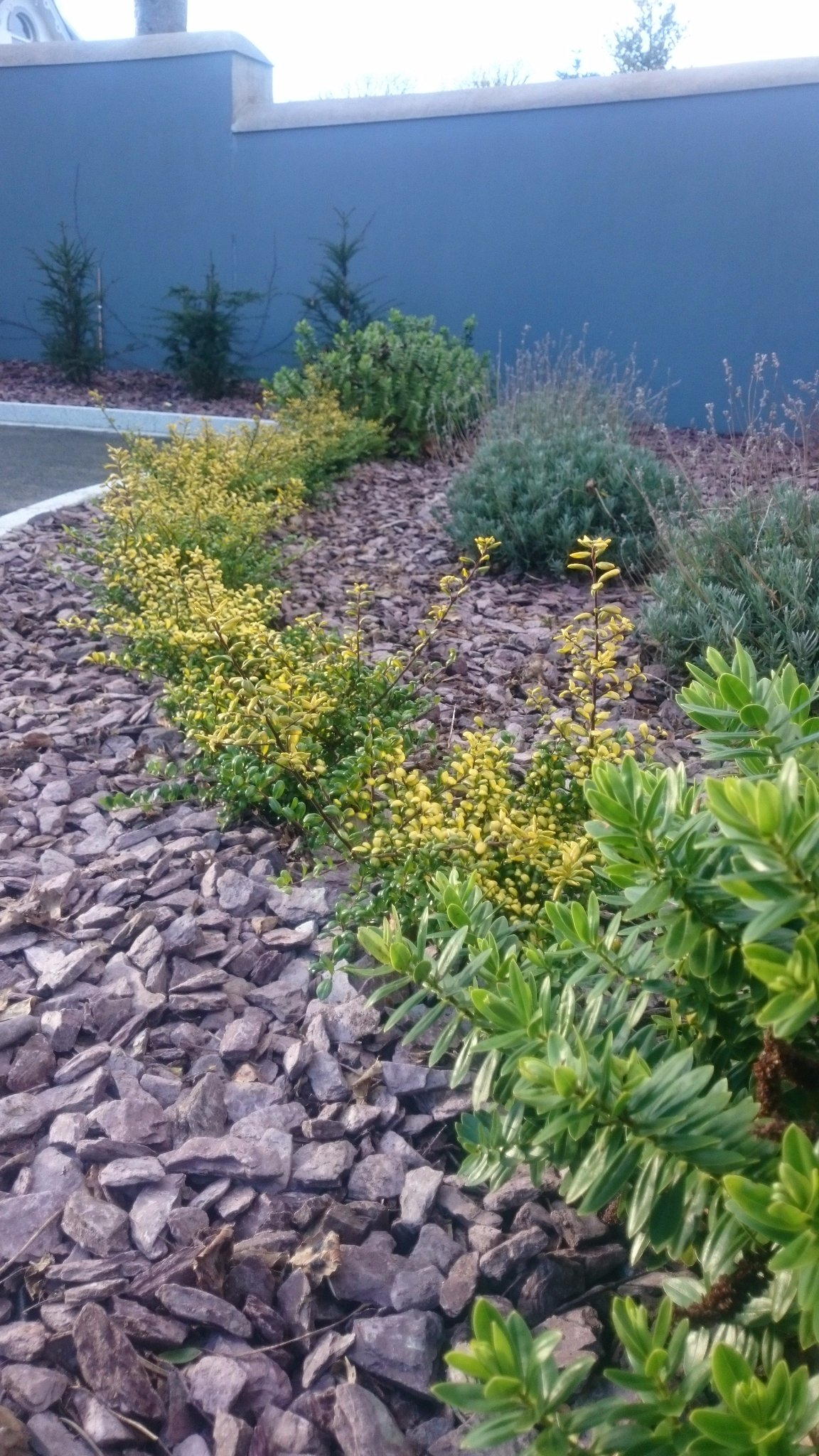 "Ilex Crenata Golden Gem steve noone on twitter: ""ilex crenata is a great alternative"