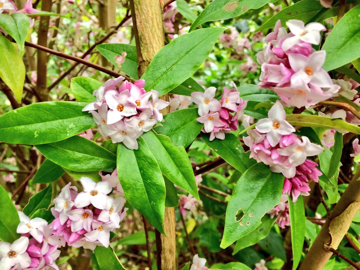 Anglesey abbey nt on twitter angleseyabbeynt winter flowering anglesey abbey nt on twitter angleseyabbeynt winter flowering shrub daphne bholua jacqueline postill sweetly fragrant and pretty pink flowers mightylinksfo