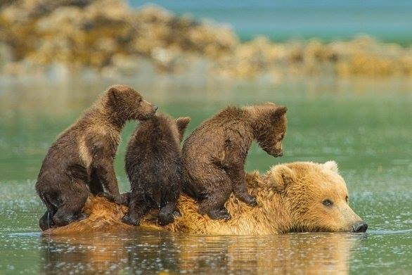 U.S. House just made it easier to kill baby #bears &amp; #wolves on Nat&#39;l #Wildlife Refuges. Now fight moves to Senate:  http:// bit.ly/2leLNzs  &nbsp;  <br>http://pic.twitter.com/RchlLz2BFR