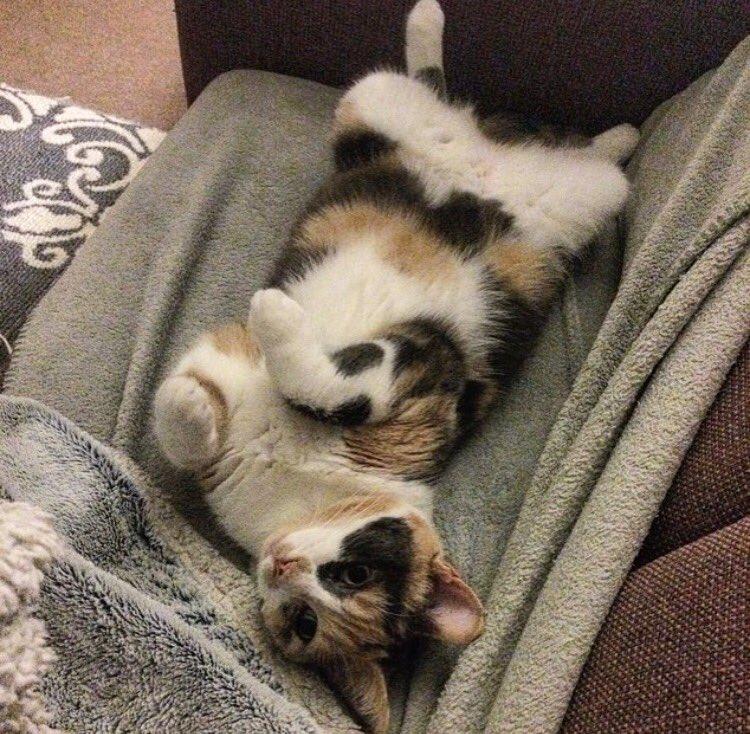 Bonjour twitter! #fridayfeeling #vibes #tgif #cat #CatsOfTwitter #kitty #calico #pets #animals #Toronto #cats #furry #furryfandom #bellyrubs<br>http://pic.twitter.com/mkHi6AzfkY