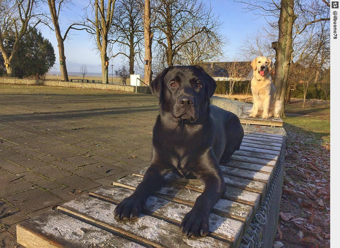 Moin!!! #dogs #labrador #puppy #dogsoftwitter #goldenretriever #searchesforpeople<br>http://pic.twitter.com/XPjQYu8bfG