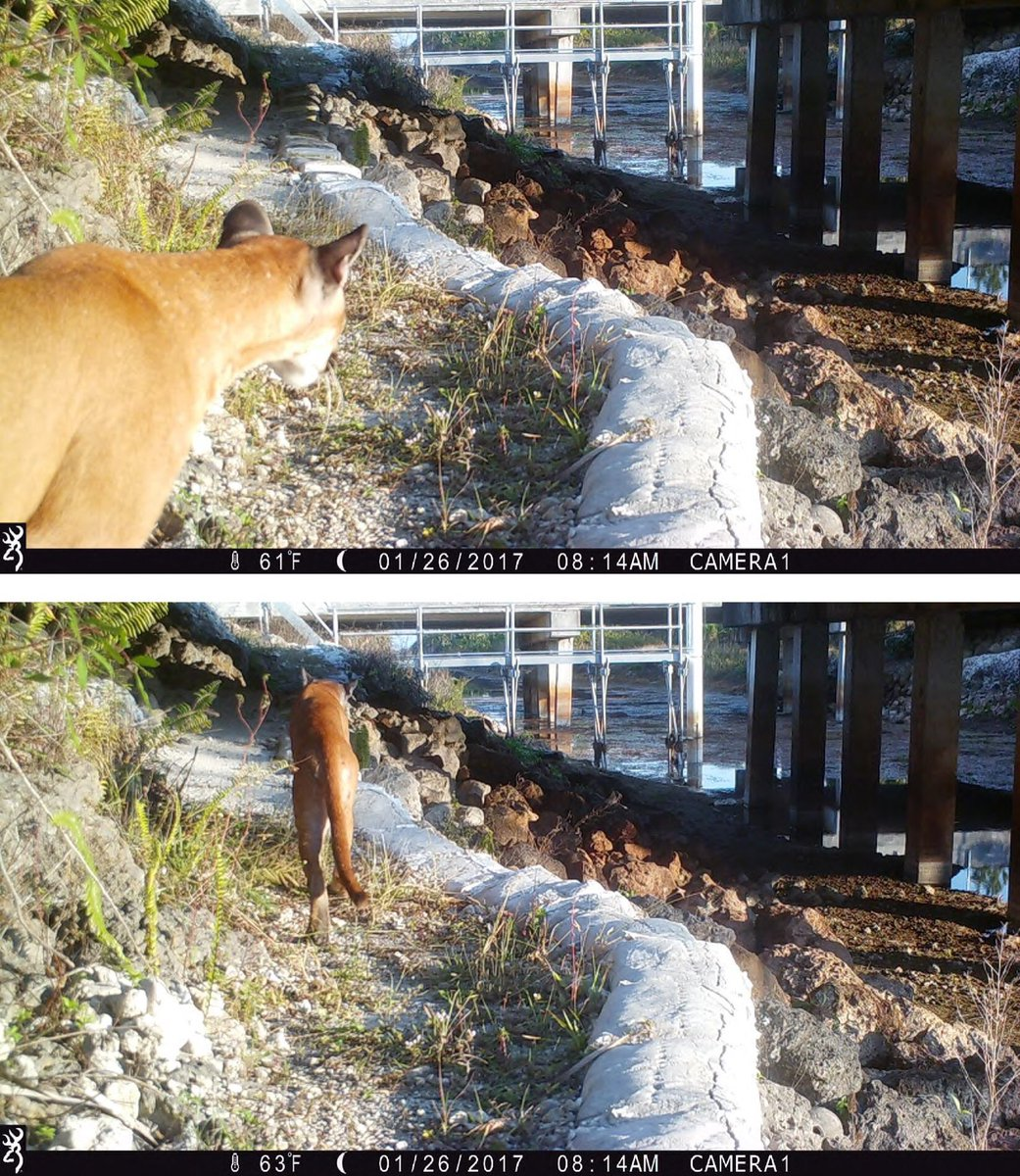 Look at the photos @MyFDOT took of Florida Panther using the I-75 wildlife pathway!! Awesome project protecting Florida&#39;s #wildlife. #Sayfie <br>http://pic.twitter.com/P9aW0tMMwR