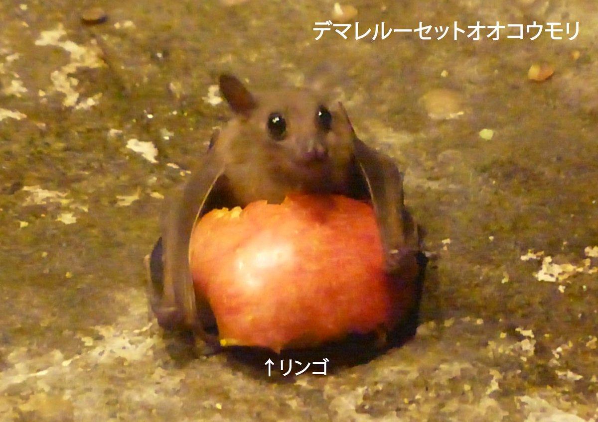 よく来園者の方から「コウモリが地面に落ちているが大丈夫か?」との問合せをいただきます。敵のいない動物園では、地面に降りて、落ちている餌を食べることもあるのです。ほら、こんな感じでひとりじめしていることも…(この状態からでも飛びたてるので、心配いりません。) pic.twitter.com/PgURbzkPqg