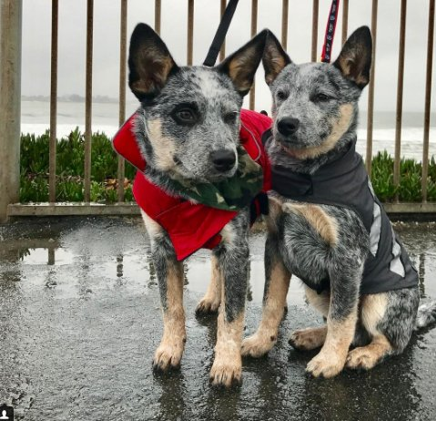 19 Loyal and Loving Cattle Dogs to Brighten Your Day #cuteoverload #do...