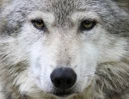 URGENT  Anipals, please join in  --&gt;  #TWEETSTORM for the #Wolves and #Bears --&gt; TOMORROW 27/2    https://www. facebook.com/events/1748568 16347622/?notif_t=plan_user_invited&amp;notif_id=1488059066956302 &nbsp; …  …<br>http://pic.twitter.com/FPqPXxvouE