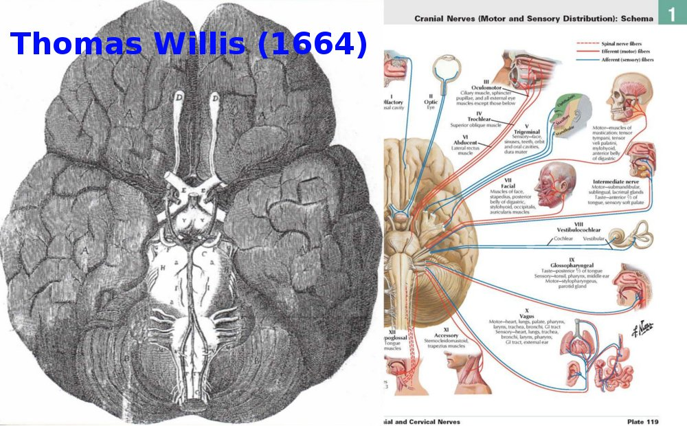Storiadellamedicina On Twitter De Cerebri Anatome Thomas